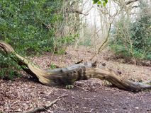 Fallen tree trunk inside forest wood in way of path. Essex; england; uk Stock Photography