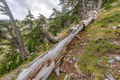 Fallen tree trunk in mountain forest Royalty Free Stock Photography