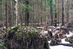Fallen tree with twisted roots. Royalty Free Stock Photos