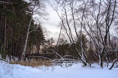 Fallen tree in the winter forest royalty free stock photo