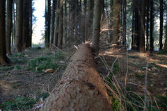 Fallen Tree in Woods/Forest With Branches Coming Off Stock Photography