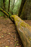 Fallen tree in the woods Royalty Free Stock Image