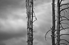 Fallen Trees Royalty Free Stock Image