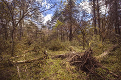 Fallen trees. Alpine forest at an altitude of over 2,000 meters Stock Image