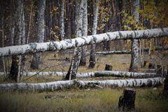 Fallen trees in the autumn birch grove stock photography
