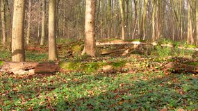 Fallen trees in autumn floodplain forest Stock Images