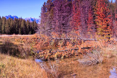 Fallen trees. Autumnal trees fallen into a mountain stream Stock Photography