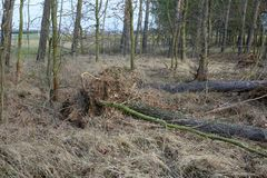 Fallen trees after a big storm and strong wind. Are now suitable for cutting stock images