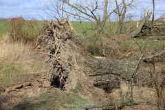 Fallen trees after a big storm and strong wind. Are now suitable for cutting royalty free stock photo