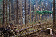 Fallen trees in a forest after a hurricane Royalty Free Stock Images