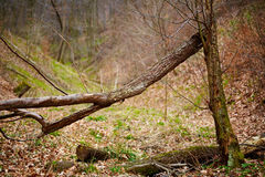 Fallen trees in a forest on springtime Royalty Free Stock Photo