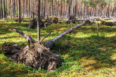Fallen trees. Many fallen trees in the forest as a result of the bombing during the Second World War Stock Image