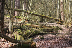 Fallen trees on a path through the forest Stock Photography
