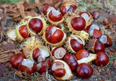 Fallen from the trees and peeled chestnuts in the shell lying on the ground. Autumn October afternoon outdoors stock photos