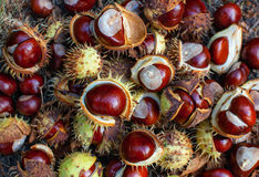 Fallen from the trees and peeled chestnuts. Fallen from the trees and peeled chestnuts in the shell lying on the ground Autumn, October afternoon outdoors royalty free stock image