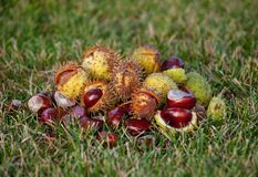 Fallen from the trees and peeled chestnuts in the shell lying on the ground. Autumn October afternoon outdoors stock photography