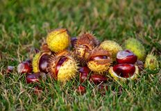 Fallen from the trees and peeled chestnuts in the shell lying on the ground. Autumn October afternoon outdoors stock image