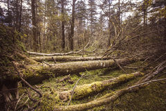 Fallen trees in primeval forest. Alpine forest at an altitude of over 2,000 meters Stock Photos
