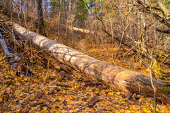 Fallen trees in ravine blocking waking path. Walk path in ravine with two fallen trees Stock Photography