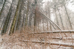 Fallen trees with snow in a forest Royalty Free Stock Images