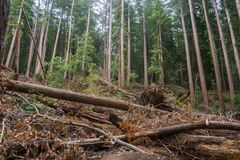 Fallen trees after a storm, Big Basin State Park, California stock photography