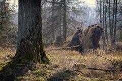 Fallen trees - Storm damage Stock Photo