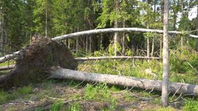 Fallen Trees After Storm 4K. In a forest stock footage