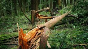 Fallen Trees After Stormy Weather. Moving around trees broken by the wind stock footage