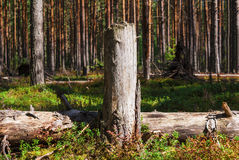 Fallen trees. Fallen tree near the stump, photographed in the pine forest Royalty Free Stock Photography