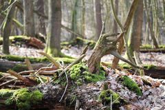 Fallen trees in a  wild forest Royalty Free Stock Images