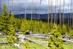Fallen trees of Yellowstone park under storm light. Stock Photos