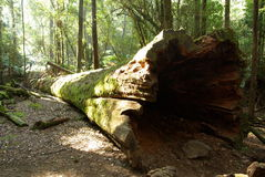 fallen treestam Royaltyfri Fotografi