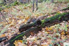 fallen treestam Royaltyfria Bilder