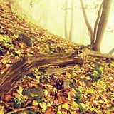 Fallen trunk in golden autumn forest, tourist stony footpath. Broken rotten tree. Stock Photography