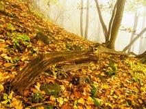Fallen trunk in golden autumn forest, tourist stony footpath. Broken rotten tree. Royalty Free Stock Photography