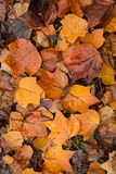Fallen tulip tree leaves in autumn. Wet, fallen brown, orange and yellow tulip tree leaves on ground Royalty Free Stock Photography