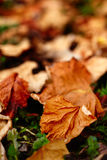 Fallen vine leaves Stock Image