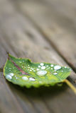 Fallen wet leaf with drops Royalty Free Stock Images