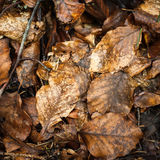 Fallen wet leaves in rainy forest. Abstract nature background Royalty Free Stock Photo
