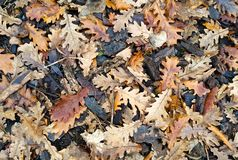 Fallen wet oak leaves and bark in winter. Image royalty free stock photos