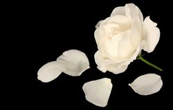 Fallen white rose Stock Image
