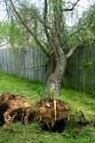 Fallen Willow Tree. Large willow tree fallen into old wooden fence Stock Photo