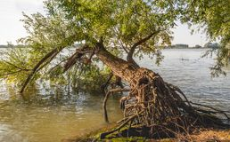 Fallen willow tree at the edge of a river Royalty Free Stock Photography