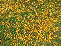 Fallen yellow apples in green grass Royalty Free Stock Images