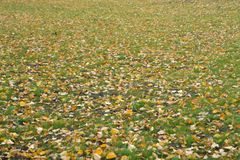 Fallen yellow autumn leaves on ground. Patch of fresh green grass in focus in foreground. Beautiful fall park. Season wallpaper. S. Elective focus. Shallow DOF royalty free stock photography