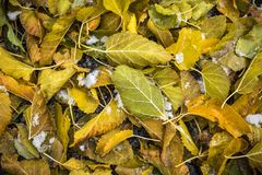 Fallen yellow autumn leaves on ground with sprinkling of snow. Assorted autumn leaves on ground with snow and ice photographed from above Royalty Free Stock Photography