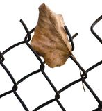 Fallen yellow autumn linden limetree leaf caught on rusty wire mesh fence, isolated vertical closeup, solitude concept copy space royalty free stock photography