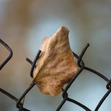 Fallen yellow autumn linden limetree leaf caught on rusty wire mesh fence, large detailed macro closeup, solitude concept metaphor Royalty Free Stock Images