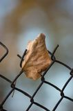 Fallen yellow autumn linden limetree leaf rusty wire mesh Stock Images