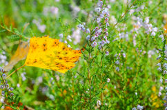 Fallen yellow birch leaf Stock Images